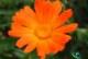 گل همیشه بهار خواص دارویی و نحوه مصرف آن