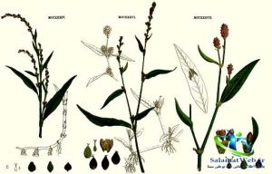 گیاه علف هفت بند