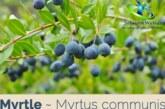 گیاه مورد چه خواصی دارد ؟+عوارض روغن مورد