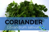 سبزی گشنیز و خواص درمانی شگفت انگیز آن در طب سنتی