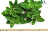 گیاه مرزنگوش و فواید شگفت انگیز آن را بیشتر بشناسید