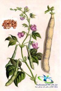 گیاه لوبیاچیتی