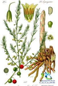 گیاه مارچوبه