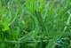 گیاه غازیاقی و خواص استثنایی آن را بیشتر بشناسید