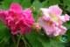 گل محمدی و مزایای آن برای سلامتی+نحوه مصرف گل محمدی