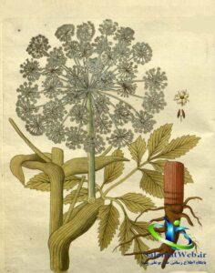 خواص درمانی گلپر در طب سنتی