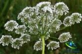 گیاه گلپر و خواص دارویی آن در طب سنتی +عوارض گلپر