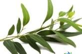 گیاه اکالیپتوس و فواید دارویی آن +نحوه استفاده از اکالیپتوس
