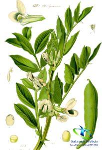 خواص درمانی سویا در طب سنتی