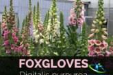 گل انگشتانه و کاربرد دارویی آن را بیشتر بشناسید