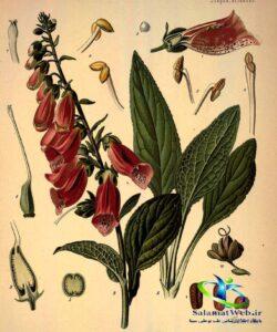 خواص درمانی گل انگشتانه