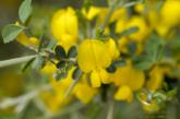 گیاه دارویی گل طاووسی گیاه جادویی برای سلامتی