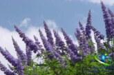گیاه دارویی پنج انگشت و خواص معجزه آسای آن در طب سنتی