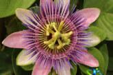 گل ساعتی نعمتی از دل طبیعت برای درمان بیماری ها