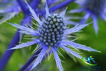 گیاه بوقناق و ویژگیهای ارزشمند آن + نحوه مصرف بوقناق