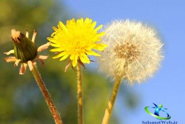 گیاه قاصدک و معرفی خواص دارویی آن + مضرات گل قاصدک