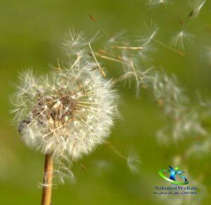 گیاه قاصدک و سرطان
