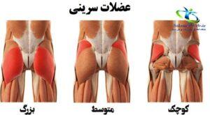 عضلات باسن