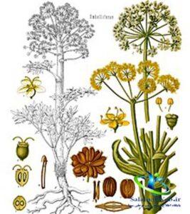 عکس گیاه جاشیر