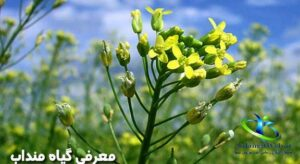 خواص گیاه منداب در طب اسلامی