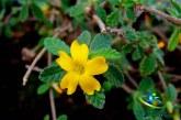 گیاه دامیانا+ ضرورت استفاده از دامیانا برای افزایش سلامت بدن