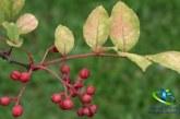 گیاه فاخره و خواص شگفت انگیز آن برای بدن + مضرات فاخره