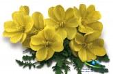 گیاه گل مغربی معرفی+ استفادههای درمانی و نحوه مصرف گل مغربی